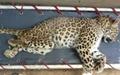 پلنگ شیراز در تهران تلف شد