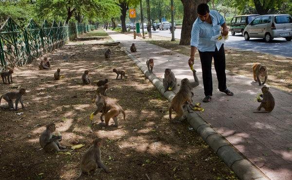 جمعآوری ۱۸هزار میمون در دهلینو