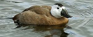 تالاب آق قلعله؛ حلقهگذاری شد و به آب زد؛ اردک سرسفید