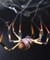 تولید مسکنهای جدید از سم عنکبوت