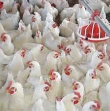 وقتی مرغها به تولید برق کمک میکنند