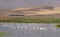 تالاب کانی برازان مهاباد میزبان ۷۰ هزار قطعه پرنده