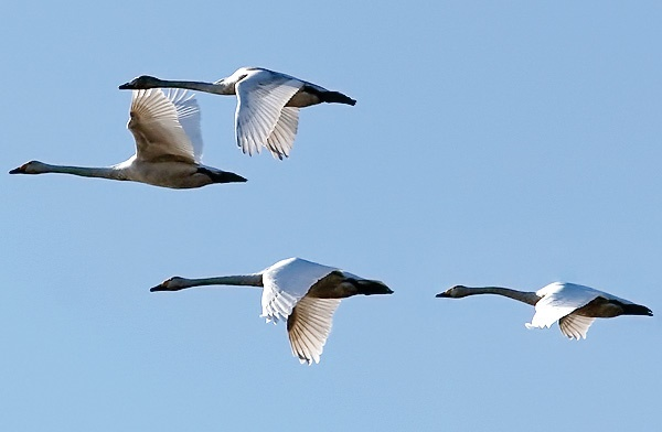 پرواز پرندگان