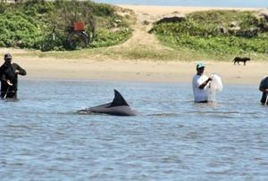 کمک دلفینها به ماهیگیرهای برزیل