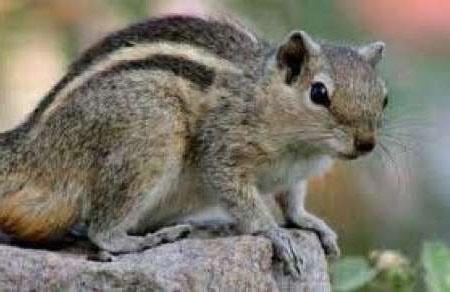 سنجاب راه راه بلوچی گونه نادر حیات وحش نیکشهر