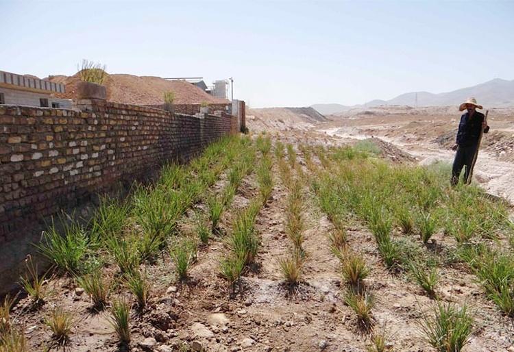 گیاه وتیور؛ پرستار زمین جاذب بیولوژیک فلزات سنگین