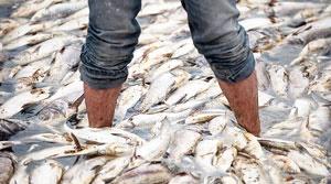 خسارت ۸.۵ میلیاردی به مزارع پرورش ماهی کهگیلویه و بویراحمد/ آلودگی ۲۲ استان به ویروس وی.اچ. اس