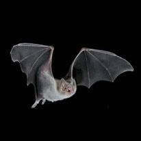 راز پرواز دقیق خفاشها کشف شد