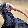 پرنده در معرض انقراض در خطر تهدید داعش