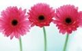 سه گل در یک فصل