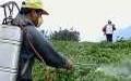 استاد دانشگاه خواستار مصرف عصاره گیاهی به جای سم در باغها شد