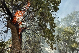 ذغال مرغوب؛ بلای جان جنگلهای بلوط