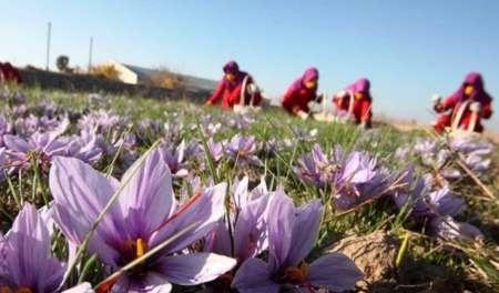 دورخیز افغانها برای تصاحب بازار زعفران ایران در جهان