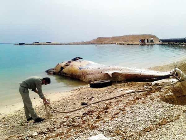 مرگ سومین نهنگ خلیجفارس در ۶ماه