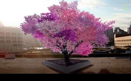 درخت ۴۰ میوه به شکوفه نشست