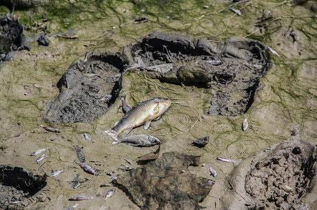 هزاران قطعه ماهی، در خشکی زایندهرود دست و پا میزنند