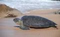 فصل تخمگذاری لاکپشت دریایی سبز در سواحل سیستان و بلوچستان آغاز شد
