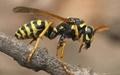 تجهیز زنبورها به فرستندههای ریز برای شناسایی بیماریها
