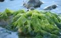 تولید آنتیبیوتیک از جلبک دریایی