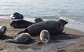 پنج کشور حاشیه دریای خزر فکهای خزری را سرشماری میکنند