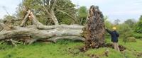کشف اسکلتی ۱۰۰۰ ساله در ریشههای یک درخت