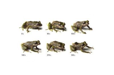 کشف قورباغه جدیدی که میتواند شکل پوست خود را عوض کند