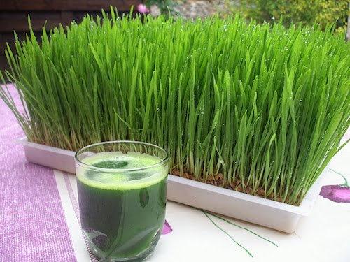 آشنایی با خواص آب سبزه گندم برای درمان اگزما و کاهش وزن