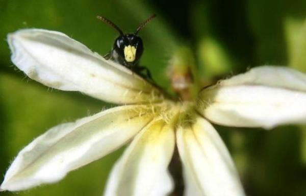 انقراض گونهای زنبور در آمریکا