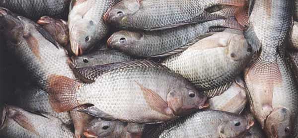 مخالفت چندباره سازمان حفاظت محیطزیست با پرورش ماهی مهاجم تیلاپیا