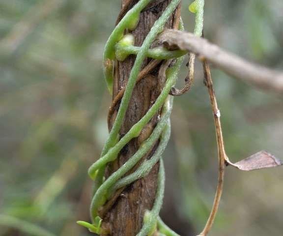 گیاهان انگلی به کمک کشاورزان میآیند