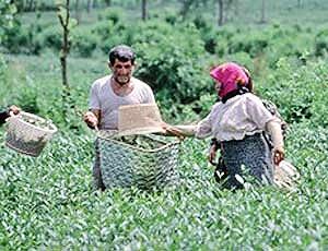 ۷ هزار هکتار از باغات چای از بین رفت
