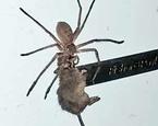 شکار و حمل موش توسط عنکبوت