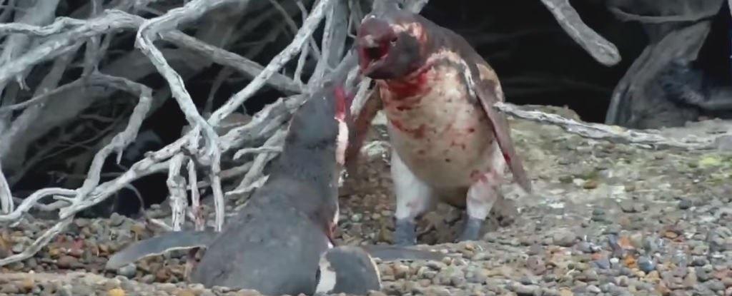 نبردی خونین چهره خشن پنگوئنها را فاش کرد