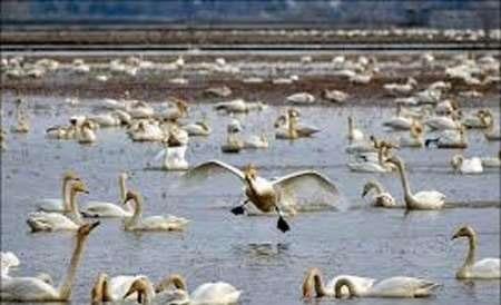 ۱۵۰ گونه پرنده زمستانگذران، مهمان تالابهای مازندران