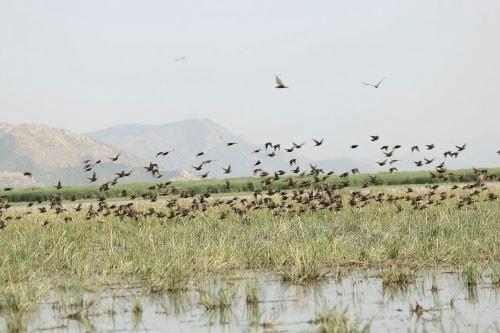 آنفلوآنزای فوق حاد پرندگان در کمین پرندگان مهاجر گیلان