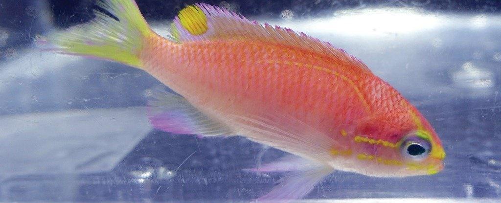 ماهی قرمزی به نام اوباما