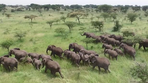 استفاده از پهپادها برای نجات جان فیلها