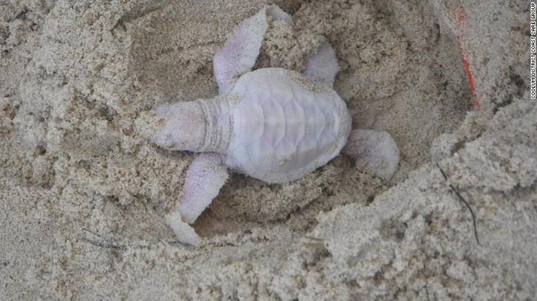تصاویری از تولد بچه لاکپشت زال در سواحل استرالیا