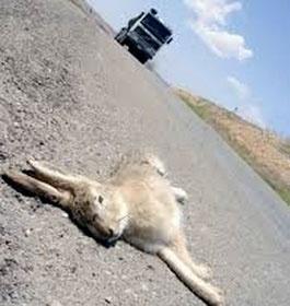 جادههای جنوبی لرستان مقتل حیات وحش