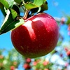 واکنش وزارت جهاد به عرضه سیب آمریکایی در بازار