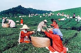 افزایش ۱۲ درصدی تولید چای در سال ۹۵