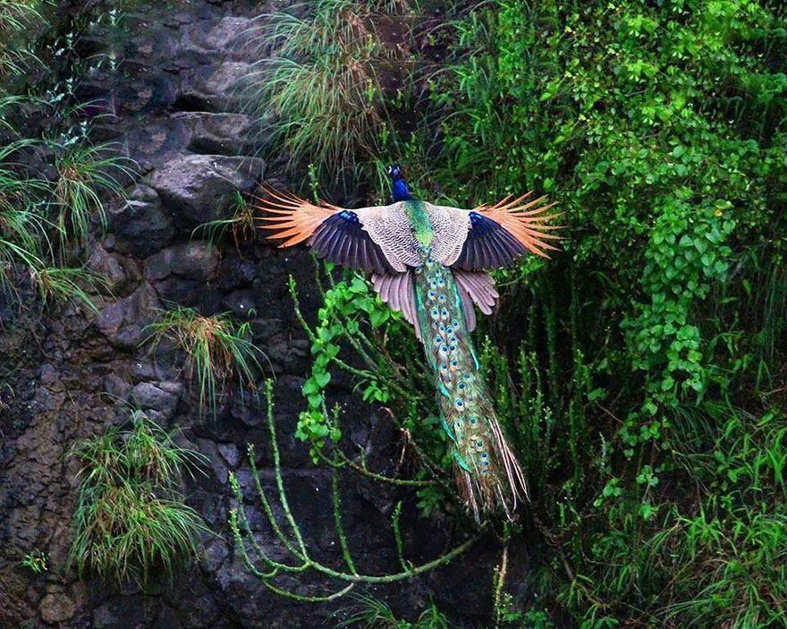 عکس | طاووس، زیبای پرنده