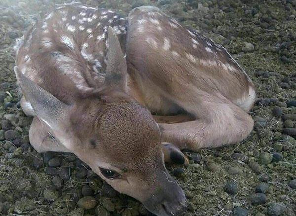 دومین گوساله گوزن زرد ایرانی در کلینیک حیات وحش پردیسان متولد شد