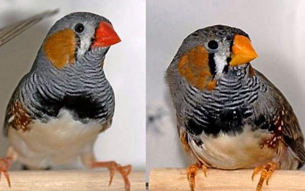 راز قرمز شدن پرندگان کشف شد