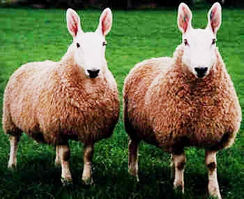 حمله گوسفندان به خانهها و خودرو مردم در بریتانیا