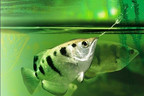 این ماهی چهره انسانها را تشخیص میدهد