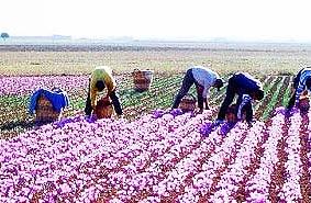 ثمره قاچاق: هلند در افغانستان زعفران ایرانی تولید میکند