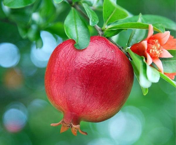 شکوفه انار؛ درمان طبیعی کنترل دیابت