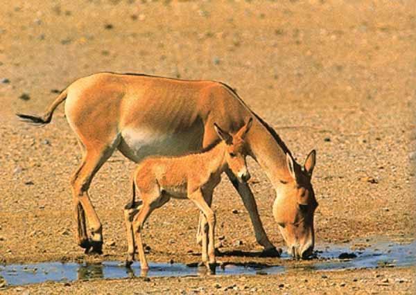 تولد ۵ راس گورخر ایرانی در مهریز | نگهداری از گورخرها در کنار بزرگراه