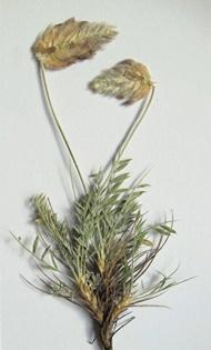کشف و نام گذاری یک گونه گیاهی جدید در کشور + عکس